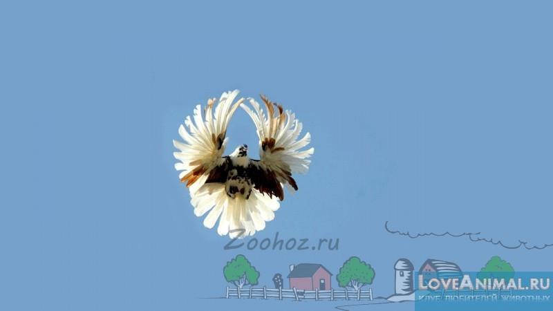 Серпастые голуби – удалые летуны