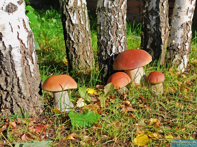 гриб скрипица описание и фото