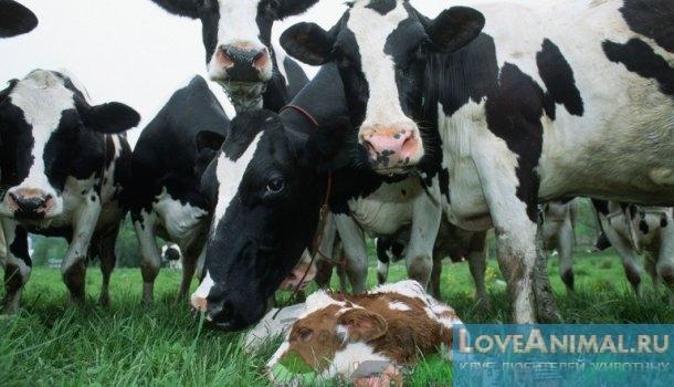 Рождение теленка: как подготовиться и принять роды у коровы
