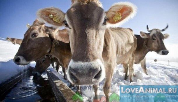 Зимний удой коров. Правильное содержание коров зимой