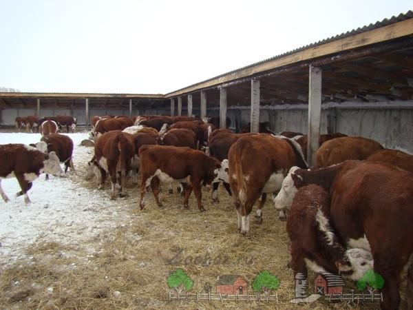 Загон для коровы своими руками