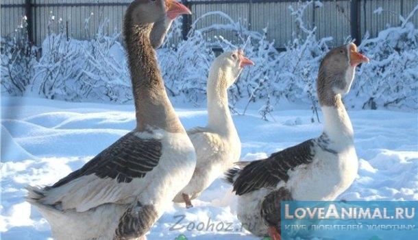 зимовка гусей в домашних условиях