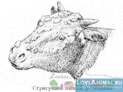 Стригущий лишай у коров и телят