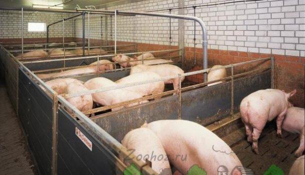 Как составить план свинарника самостоятельно
