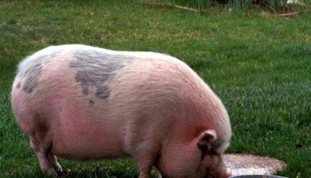 Презентация на тему: Основы свиноводства 74