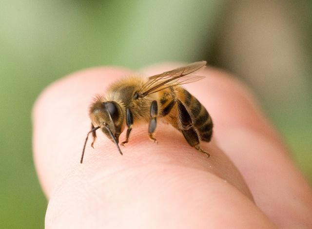 Апитерапия - лечение пчелиным ядом