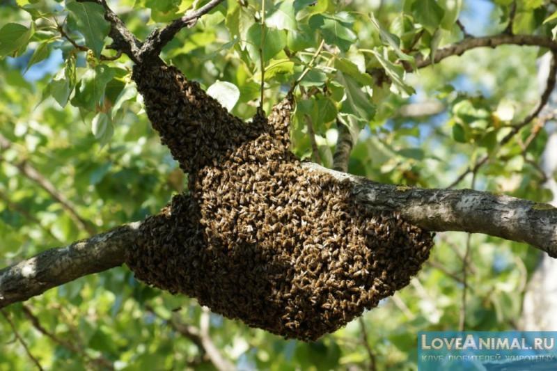 Ловля пчелиных роев ловушками: основные правила пчеловода