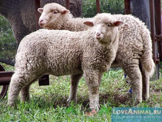 Сколько длится беременность у овец