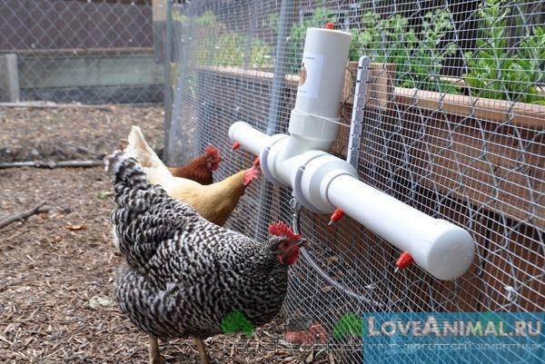 Сделать поилку для куриц