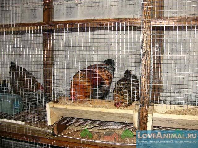Правильное содержание кур-несушек дома и на даче. Советы с фото и видео - Love Animal - клуб любителей животных