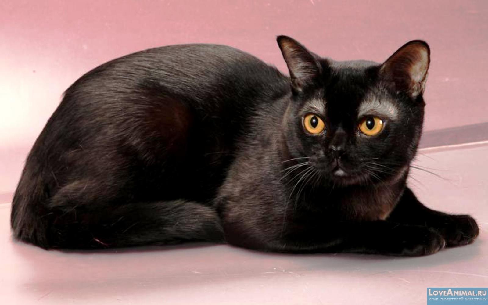 black cat breeds - 830×519